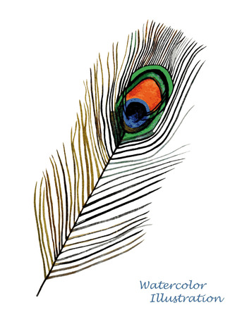 peahen: Watercolor peacock feather on white background. Hand painted realistic illustration. Illustration