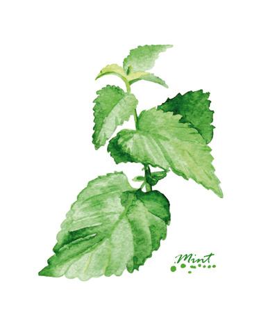 Aquarelle menthe branche. Peint à la main illustration réaliste. Conception vintage de menthe sur fond blanc.