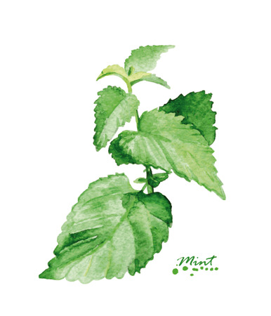mint: Watercolor mint branch. Hand painted realistic illustration. Vintage design mint on white background. Illustration