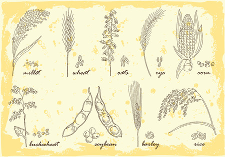 rye: Hand drawn Cereals set of vector sketches. Vintage design with rye rice wheat corn oats millet soybean ear of grain illustration. Illustration