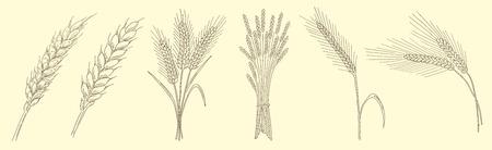 Ears von Weizen