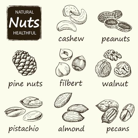 brazil nut: Nuts set. Hand drawn vintage illustration.