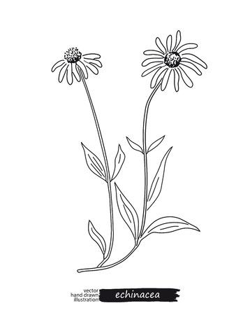 calendula: Echinacea isolated vector sketch Illustration