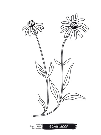 Echinacea isolated vector sketch Illustration