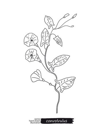 convolvulus: Convolvulus isolated vector sketch