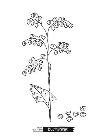 Sketched hand drawn buckwheat