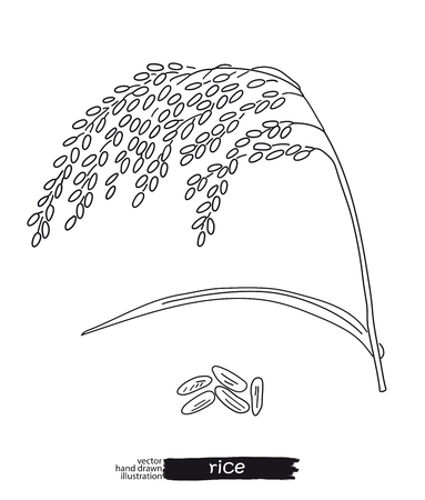 Sketched hand drawn rice Vector illustration.