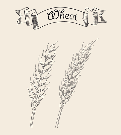 Two ripe ears of wheat isolated on plain background. Иллюстрация