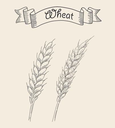 Two ripe ears of wheat isolated on plain background. Ilustração