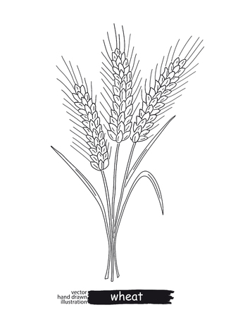 Two ripe ears of wheat isolated on  plain background.