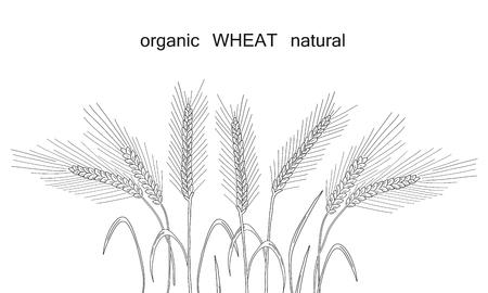 Wheat in the field illustration on white background. Ilustração