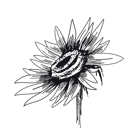 Sunflower on white background. Vector sketches hand drawn illustration. Flyer, booklet advertising and design. Ilustração