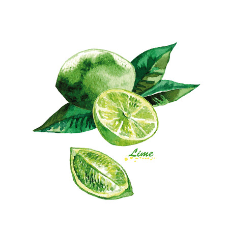 Watercolor Citrus fruit Lime, lime slice. Hand painted realistic illustration on paper. Vintage design food and drink isolated on white background.