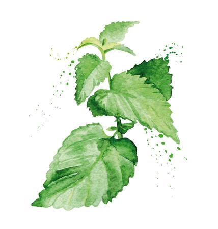 Ramo di menta dell'acquerello. Illustrazione realistica dipinta a mano su carta. Erbe e spezie della cucina di progettazione dell'annata isolate su fondo bianco.