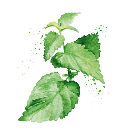 Watercolor mint branch. Hand painted realistic illustration on paper. Vintage design kitchen herbs and spices isolated on white background.