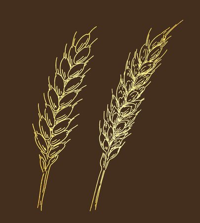 Two golden ripe ears of wheat. Sketched hand drawn vector illustration. Vintage design with natural and healthful food. Line art style. Ilustracja