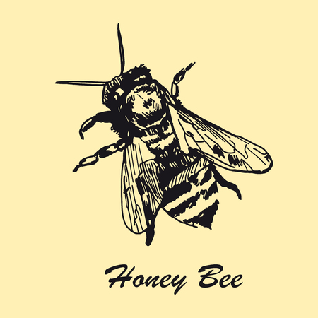 Hand drawn honey bee. Rustic template. Vintage design sketched vector illustration. Line art style.