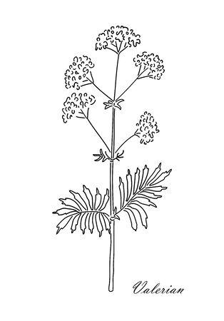 Valerian herb isolated on white background. Vintage design sketched vector illustration. Line art style. Ilustração