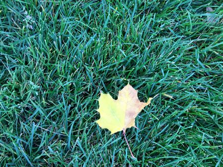 Yellow leaves on green lawn. Green grass background texture. Top view. Фото со стока
