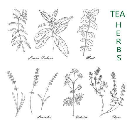 Tea herbs set isolated on white background. Vintage