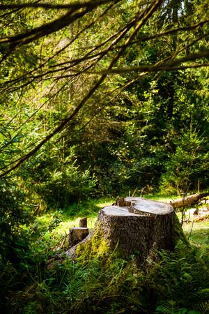 Tree stump in the green forest. Summer in the forest. Copy space