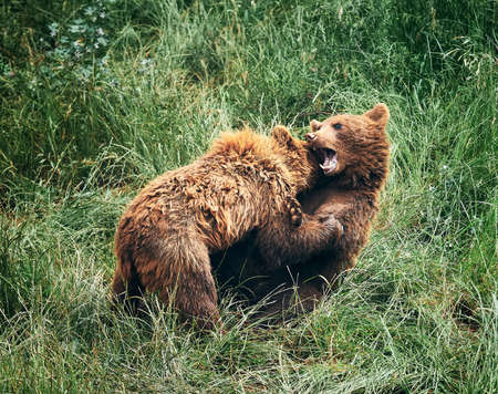 brown bear cubs, fighting in the tall green grass