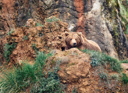 brown bear inthe hill