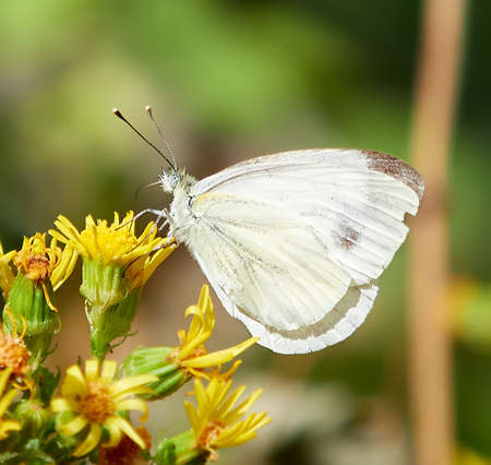 white butterfly, with brown spots on the wings, perched on yellow flowers, with a green blur background