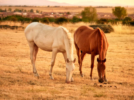 Pair of horses of brown and white colors, eating yellow grasses during a sunset in a mountainous bucolic sunset landscape