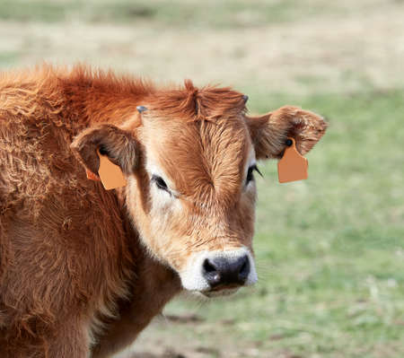 closeup of the head of a Spanish brown calf in the field in a meadow