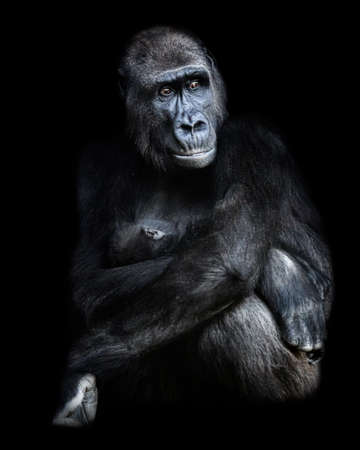 Female gorilla sitting with baby gorilla in her arms.Photograph with black background in low key