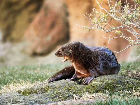 spotted necked otter, typical African aquatic animal, surrounded by trees and grass