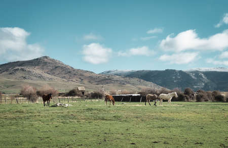 Brown and white Spanish horses grazing in the beautiful fields of the mountains of Segovia, Castilla y Leon Spain Standard-Bild