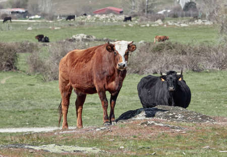 brown and black cows in the green fields of Castilla y Leon, Spain