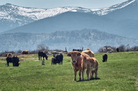 Cows with their calves grazing in the green and yellow fields of Castilla y Leon, with the blurred background of the snow-capped Segovian mountains