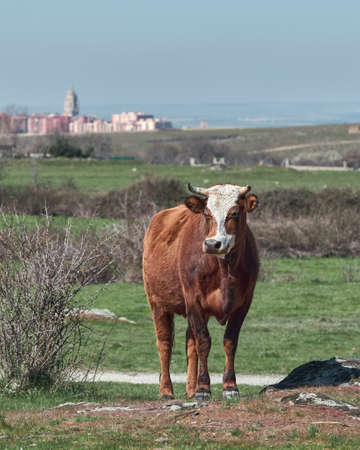 Cow grazing in the green and yellow fields of Castilla y Leon, with the background out of focus of the city of Segovia with its cathedral