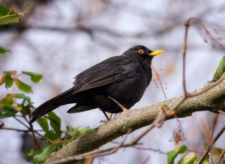 common blackbird or, more commonly, blackbird (Turdus merula). Black bird perched on a tree branch, in Segovia, Castilla y Leon, Spain