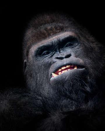Gorilla face in low key