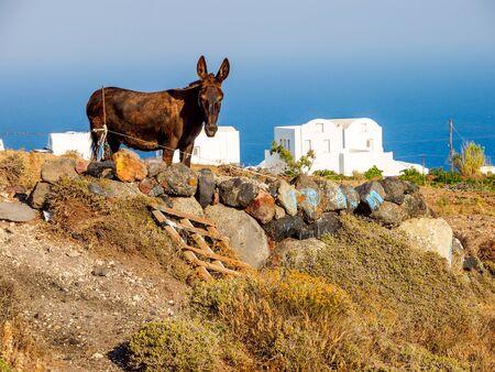 Traditional Santorini island view with donkey. Santorini, Cyclades, Greece. Stok Fotoğraf