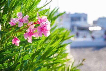 Close up photo of Pink oleander flower blossom on Santorini island, Greece.