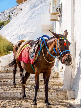 Santorini Donkey, worked mule. Santorini, Cyclades, Greece. Stok Fotoğraf