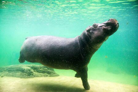 Cute hippopotamus swim underwater in a zoo