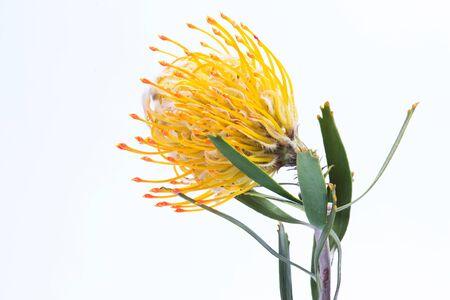 Yellow pincushion protea closeup. Leucospermum conocarpodendron. Close up on white background