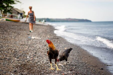 A cock on the beach in Amed, Bali, Indonesia