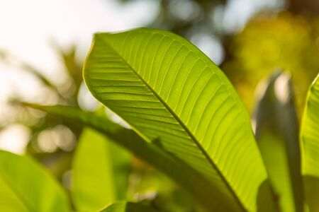Big green leaf. Beautiful and amazing flora on Bali island, Indonesia