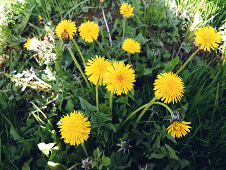 Yellow dandelions. Bright flowers dandelions on background of green spring meadows. Spring flower background