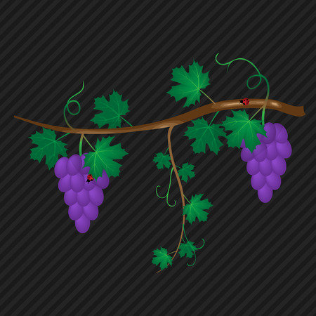 abstract vine with ripe grape vector background Vector