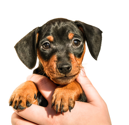 Cute miniature pinscher puppy in hand on white background