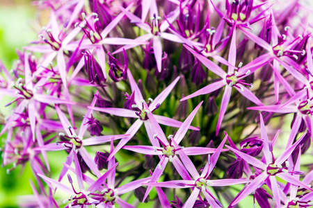 The purple sphere flower called Allium cristophii, Persian onion or Star of Persia. It is a species of onion though grown as an ornamental plant in many parts of the world. 写真素材