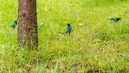 Small iridescent blue-to-green Superb Starling (Lamprotornis superbus) birds in the grass. This species can commonly be found in East Africa.